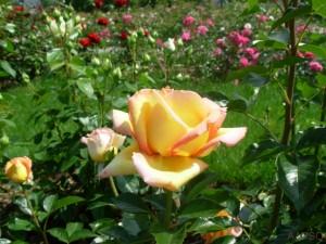 Photo rose jaune